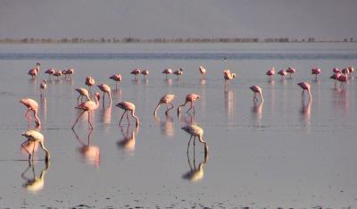 Flamingos Lk Natron 2018
