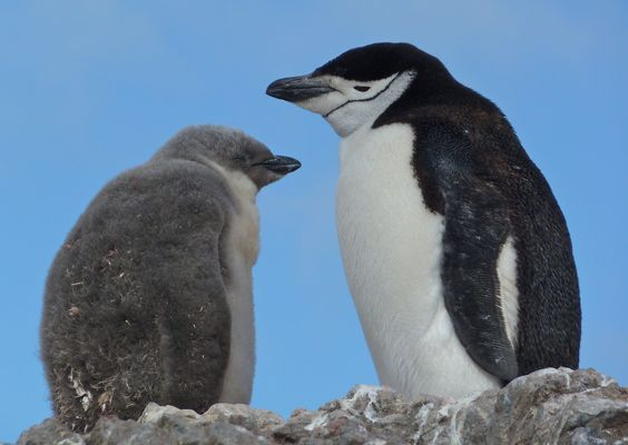 Antarctica 2 | chinstrap penguin and chick
