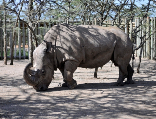The Death of a Rhino Symbolizes the Catastrophe of the 'Sixth Extinction' | CBC Radio