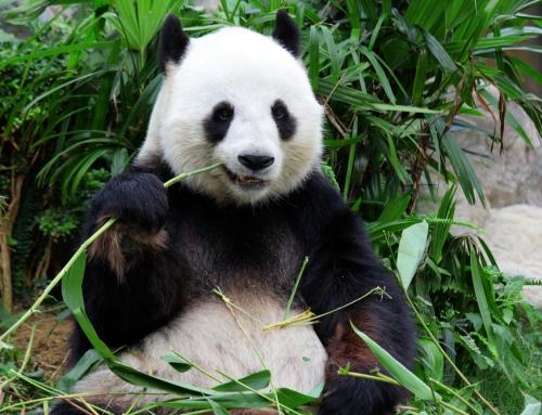 Homestretch Naturalist Brian Keating Meets the Pandas at the Calgary Zoo