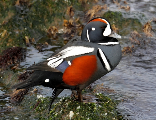 Brian Keating on CBC Homestretch: Harlequin Ducks