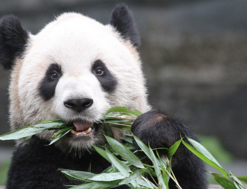 Brian on CBC Calgary News at 11 April 23, 2018: Calgary's Pandas