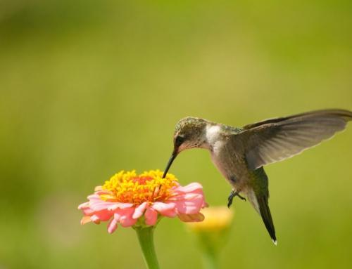 Brian Keating on CBC Homestretch: Hummingbird Spottings