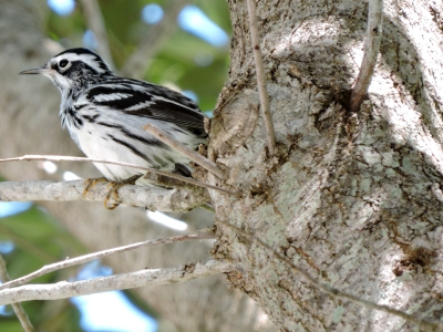 Black-and-white Warbler in a Tree