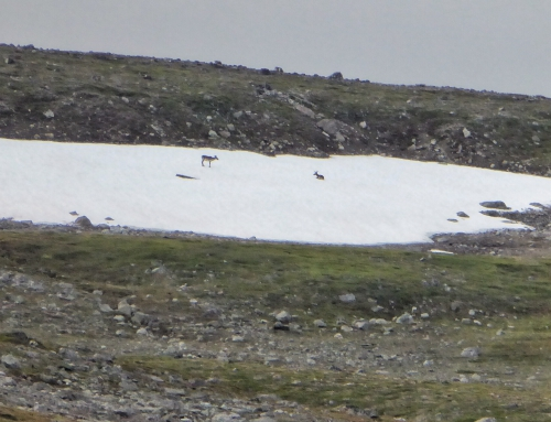 Brian Keating on CBC Homestretch: Caribou