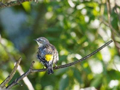 Yellow-rumped Warbler on Tree Branch