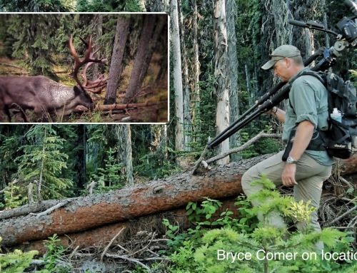 Brian Keating on CBC Homestretch: Selkirk Woodland Caribou Update