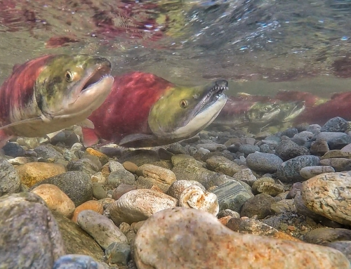 Brian Keating on CBC Homestretch: B.C. Salmon Run