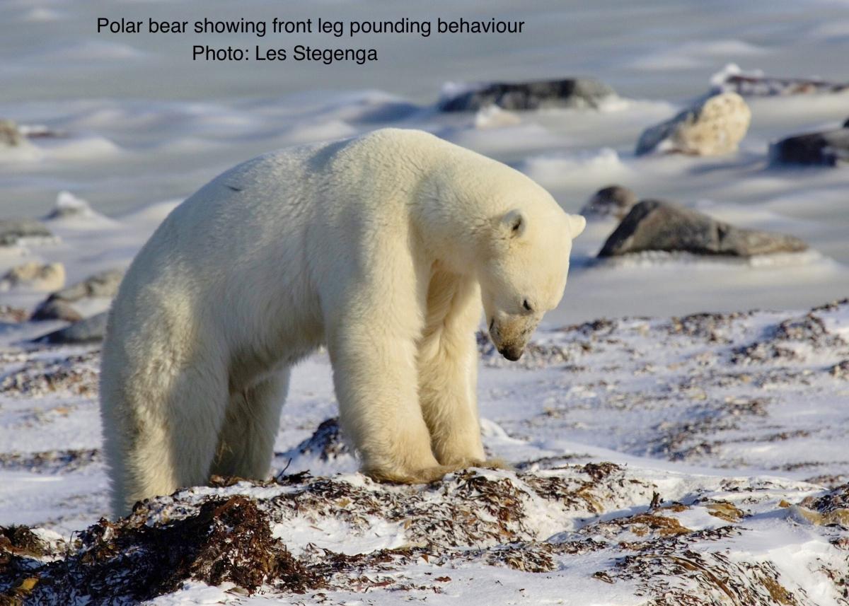 Brian Keating Polar Bear 1