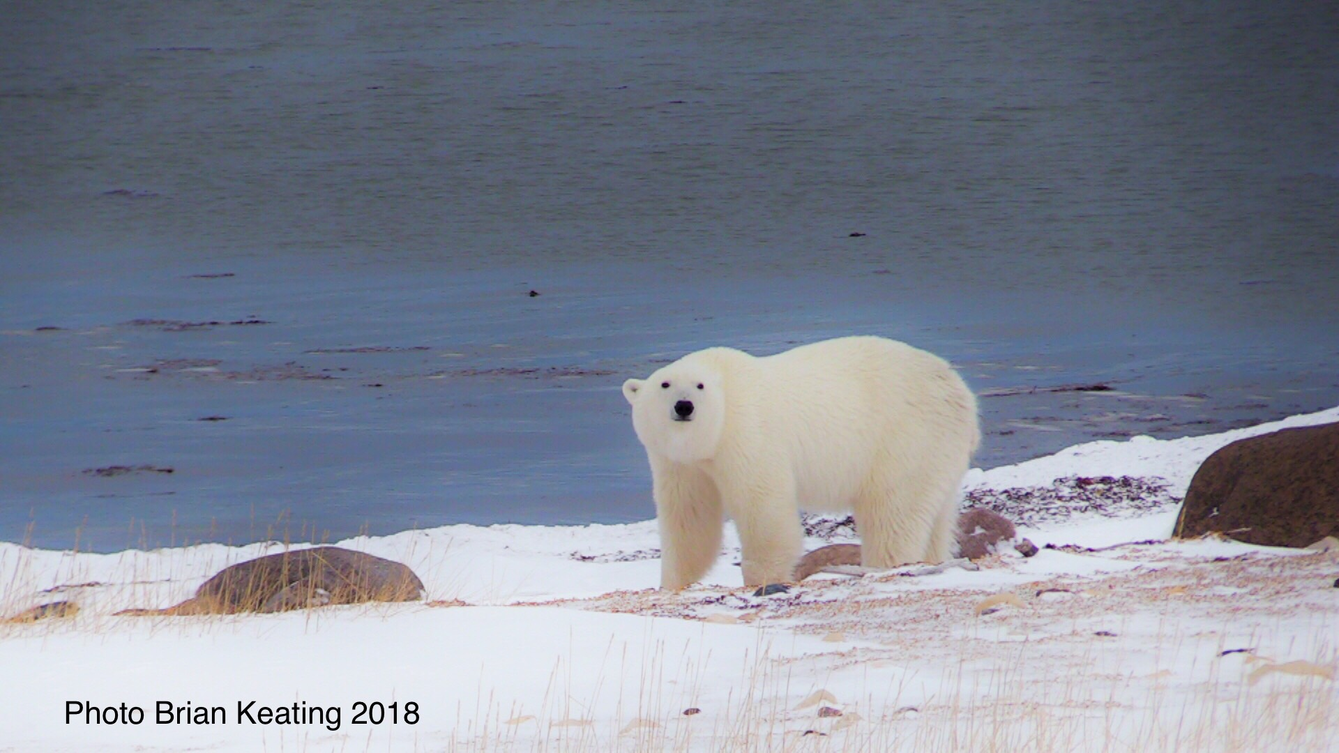 Brian Keating Polar Bear 3