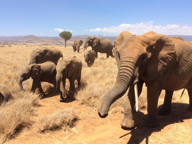 Elephants at Lewa