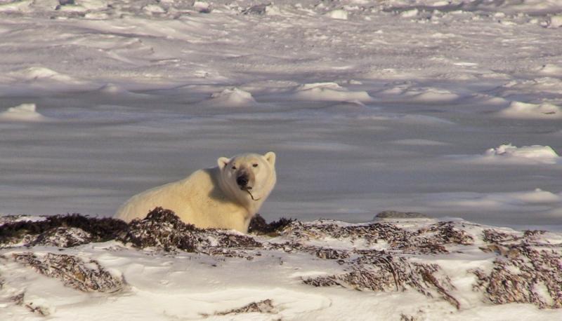 Churchill Manitoba | photo of polar bear