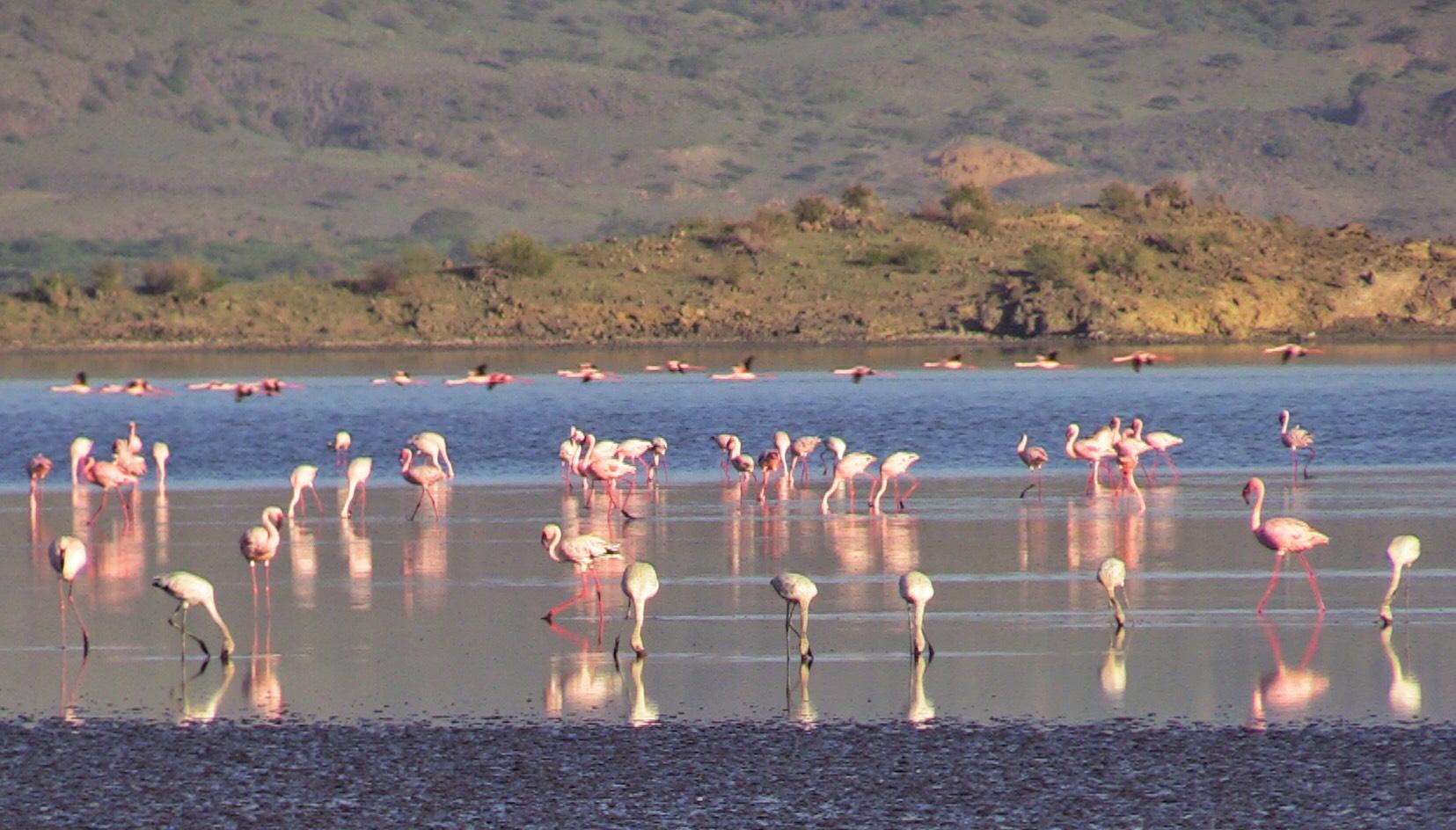 Flamingos on Lk Natron 2018