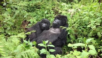 Mountain Gorillas in Rwanda 1