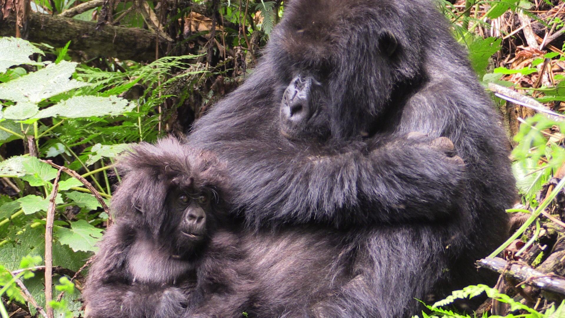 Mountain Gorillas in Rwanda 2