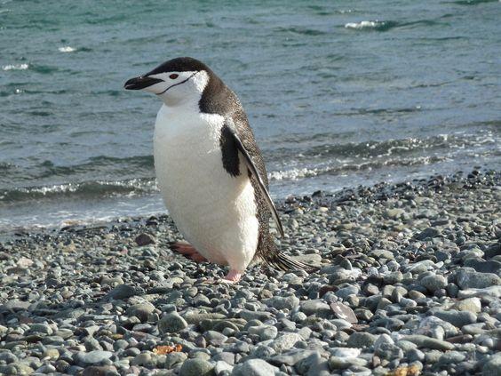 Antarctica 2 | chinstrap penguin