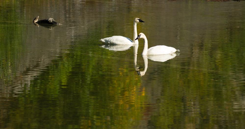 Trumpeter Swans Wild Birds Mating Pair Autumn Alaska Lake